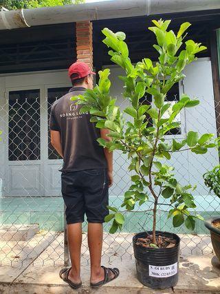 Hoàng Long Garden vừa cập bến ổiruby đang đậu trái đầy cây, tàn lá sum suê, cây cao đến 1m8