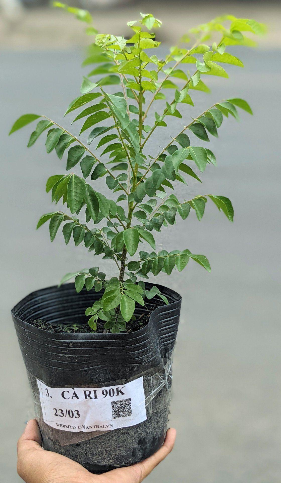 CÂY CÀ RI đang là dòng cây yêu thích của những Người Bận Rộn vì cây Đa Năng mà còn Dễ Trồng